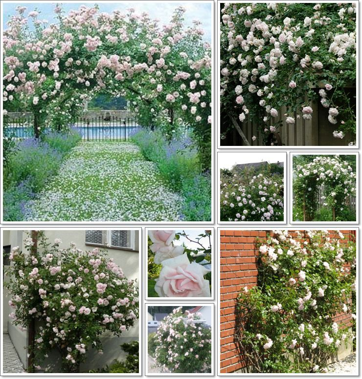 Pnace Roze New Dawn Na Pergole Outdoor Structures Plants Greenhouse