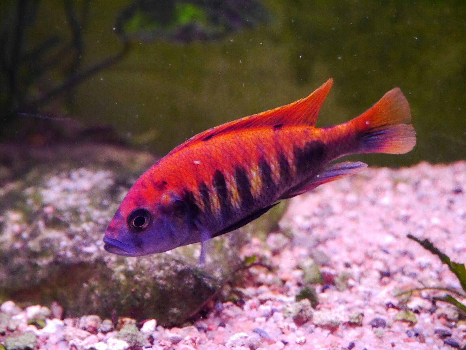 Haplochromis Nyererei