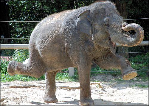 The Elephant Is Dancing Dancing Animals Funny Elephant