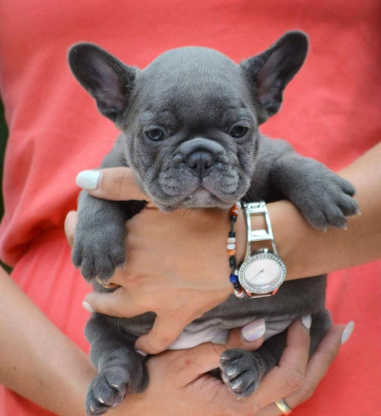 Everything About The French Bulldog Pups Personality