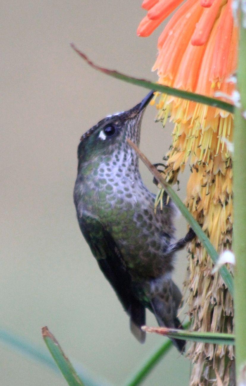 Picaflor Rubí (Sephanoides sephanoides ) Parque Nacional