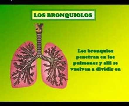 Sistema Respiratorio y Partes del Sistema Respiratorio con Imagenes ...