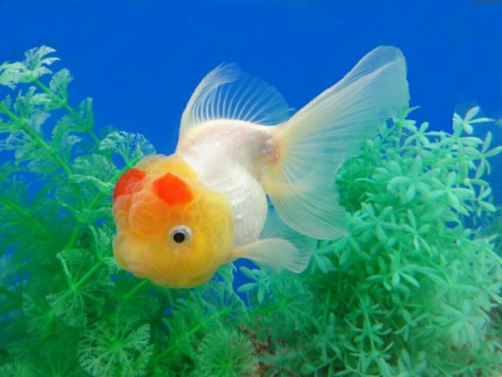 Oranda Goldfish Oranda Goldfish Goldfish Goldfish Tank