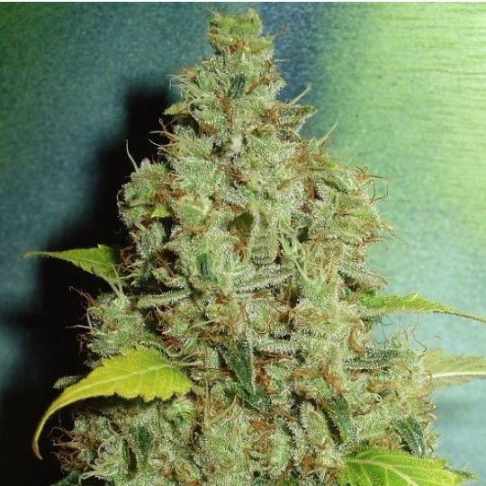 Pixie Dust Feminized Pixie Dust Feminized is a cross between the famous White Widow and Lavender. The combination between these…