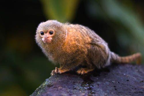 Pygmy Marmoset Pygmy Marmoset Rainforest Theme