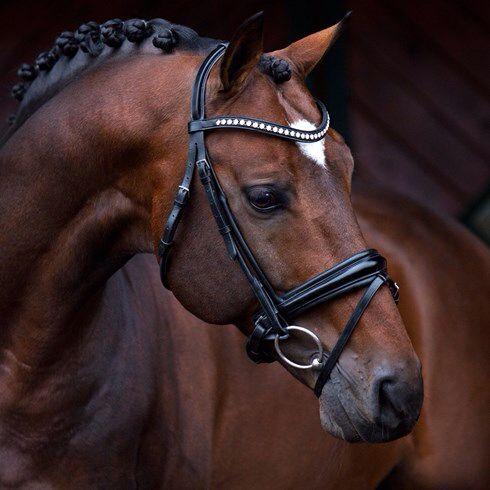 Holsteiner Braunes Pferd Holsteiner Pferde Pferde