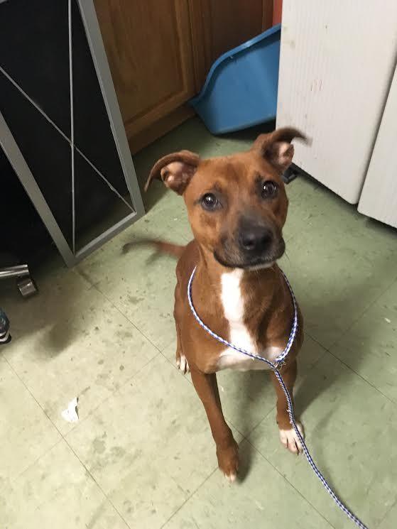 Boxador Dog For Adoption In Pensacola Fl Adn 422936 On