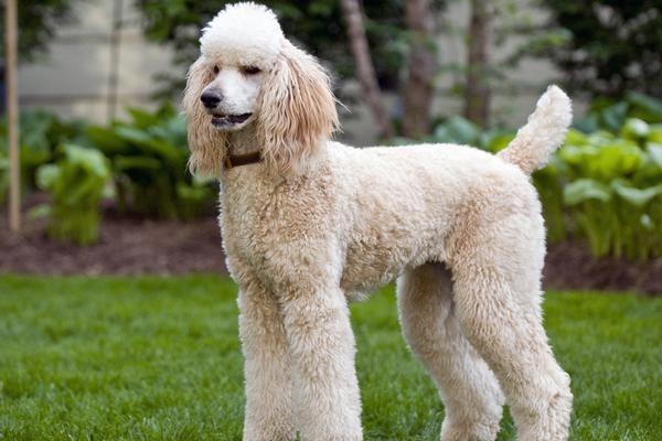 Poodle Poodle Smartest Dog Breeds
