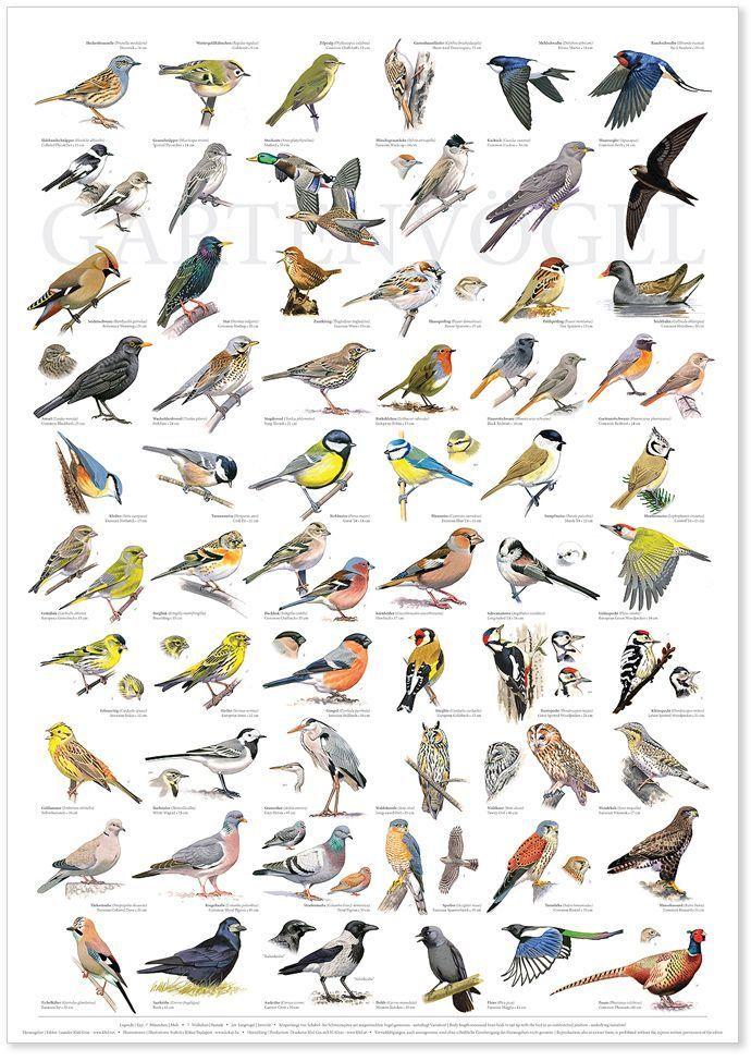 Vogel Im Garten Bestimmen Pet Birds Bird Poster Animals