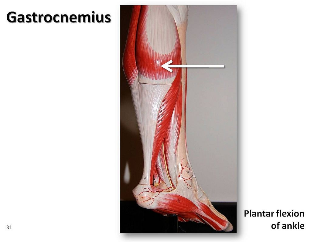 Gastrocnemius Muscles Of The Lower Extremity Anatomy Visual Atlas