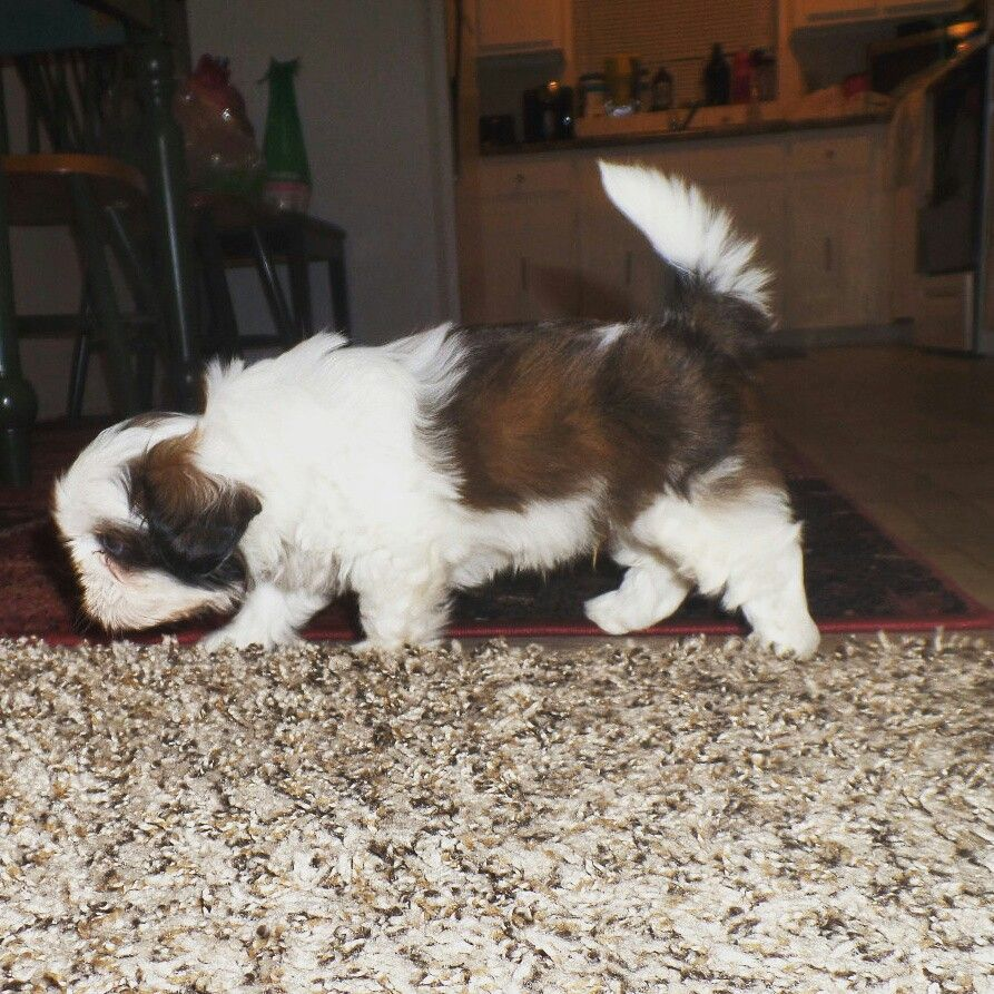 His Beautiful Coat Our Blue Eyed Shih Tzu At 6 Weeks Old Our
