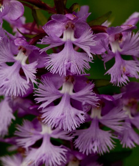 Small Purple Fringed Orchid – platanthera psycodes – photographed at Mount Mitchell State Park   http://hankinslawrenceimages.wordpress.com/2010/06/
