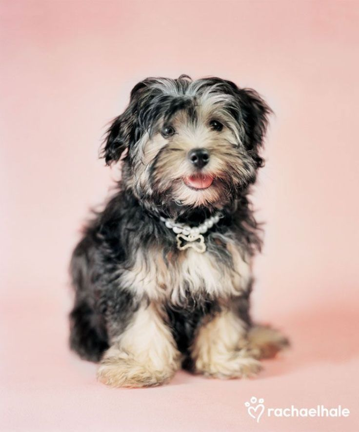 Top 10 Most Expensive Dog Breeds Top Inspired Expensive Dogs Dog Breeds Most Expensive Dog