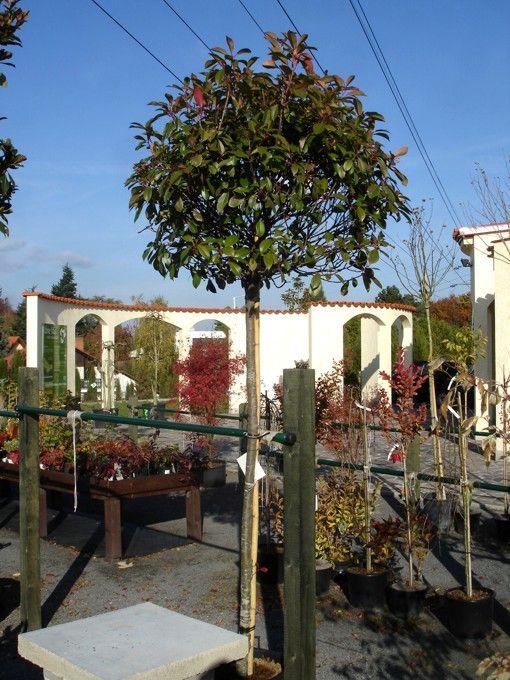 photinia red robin landscape trees pinterest. Black Bedroom Furniture Sets. Home Design Ideas