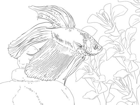 Siamese Fighting Fish Coloring Page Fish Coloring Page Coloring