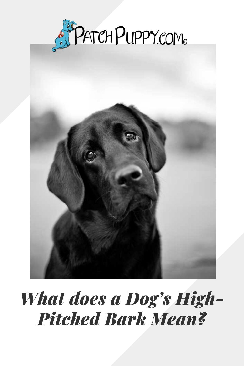 What Does A Dog S High Pitched Bark Mean Patchpuppy Com In 2021 Dogs Dog Care Health And Safety
