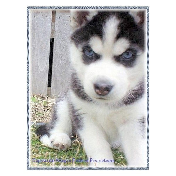 Siberian Husky Pictures Gallery 1 Allegro Siberian Huskies Found On Polyvore Husky Clothes Design Siberian Husky