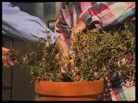 Pruning A Mini Rose Bush Video This Is The Way I Prune Regular