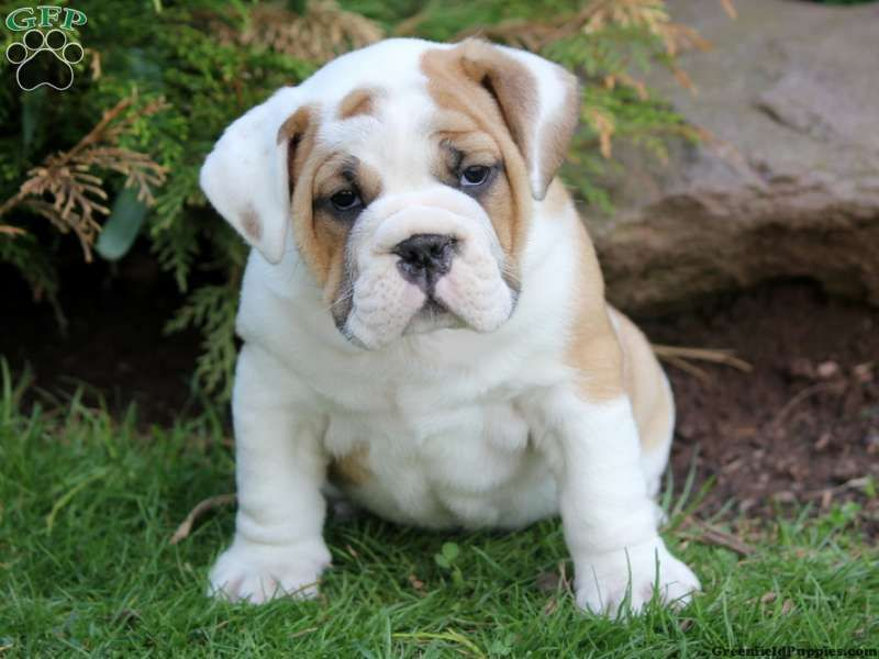 English Bulldog And Beagle Mix Google Search Puppies Bulldog