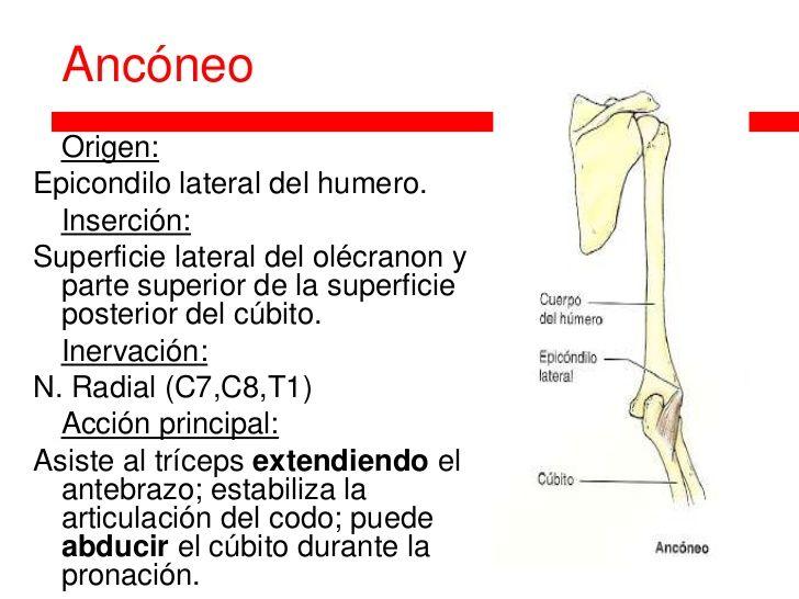 Ancóneo Origen:Epicondilo lateral del humero. Inserción ...