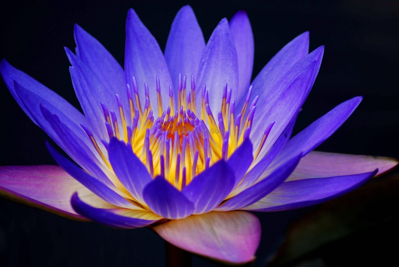 Glowing Lotus Flowers Pinterest