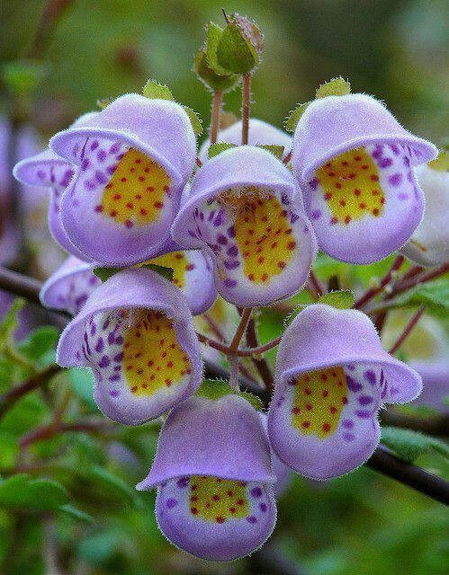 Pin by gardeners ideas on beautiful flowers ideas pinterest jovellana violacea is an unusual rarity from chile with colorful sprays of happy little flowers the plant doesnt have a common name so i named it the mightylinksfo Image collections