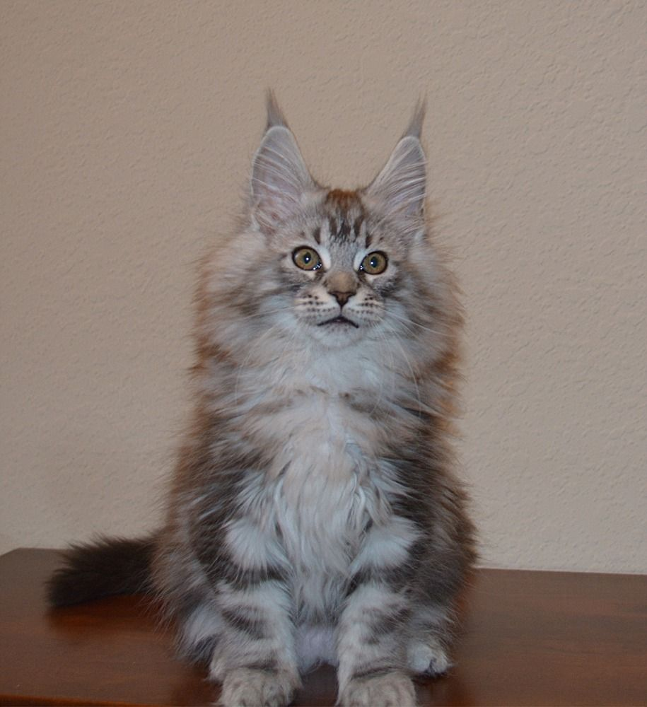 Park Art My WordPress Blog_Maine Coon Kittens For Sale Southern Illinois