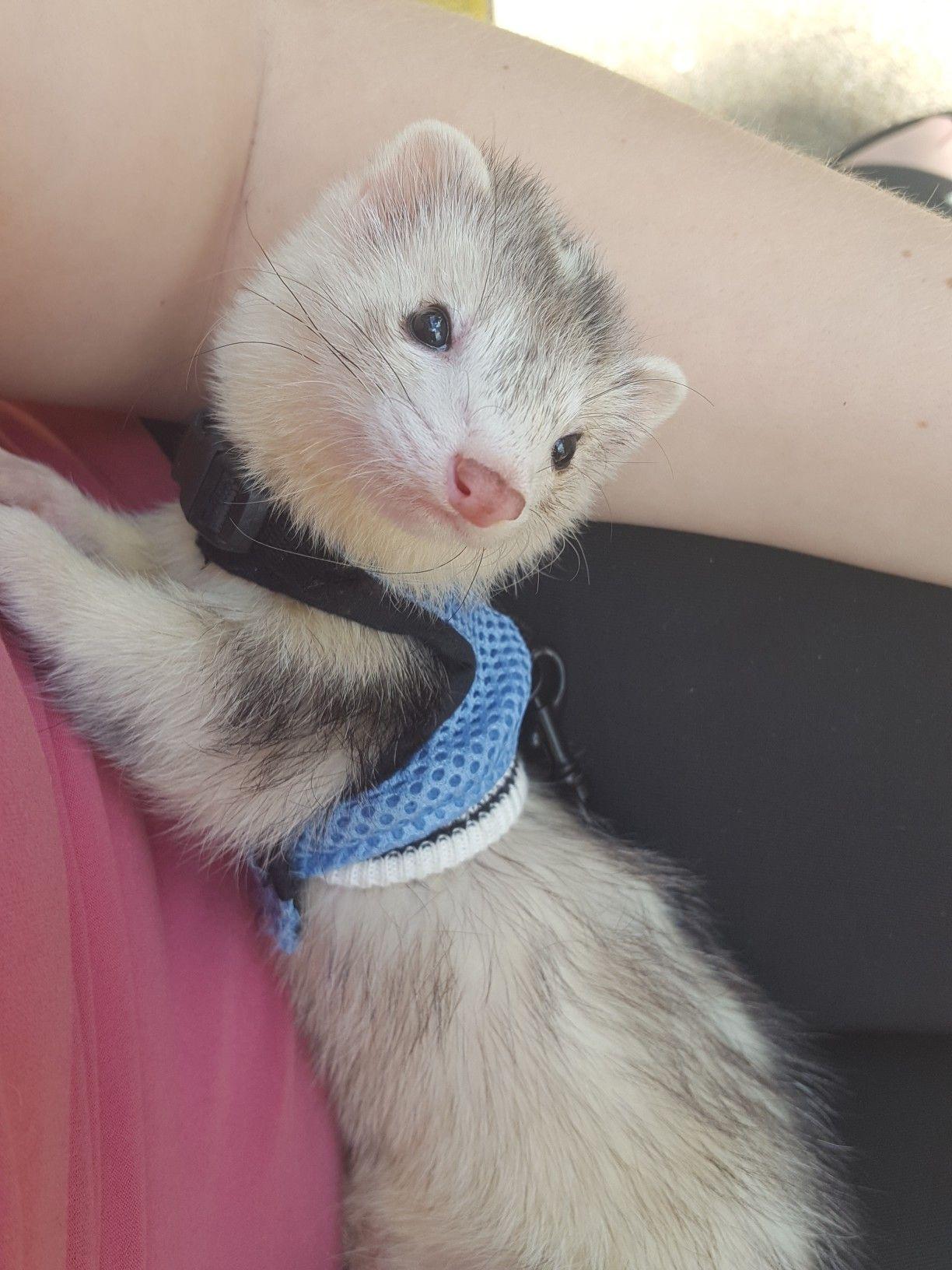 Baby Taiga In Her Harness Baby Ferrets Funny Ferrets Cute Ferrets