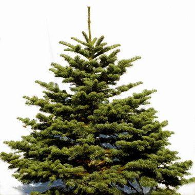 Noble fir christmas tree - 3 PHOTO!   Christmas Trees   Pinterest ...