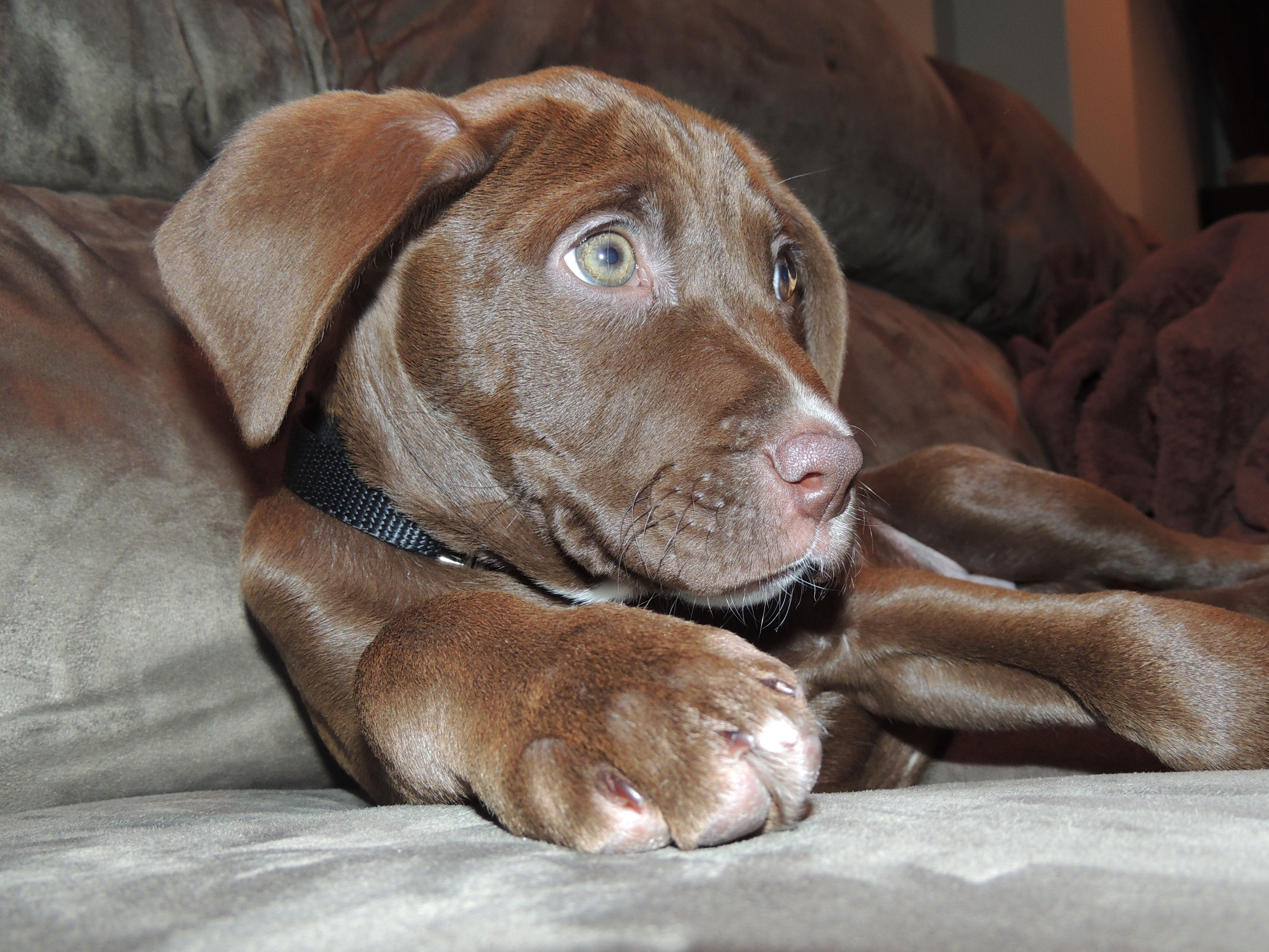"""""""Buster"""" a chocolate lab/boxer puppy xoxo Pinterest"""
