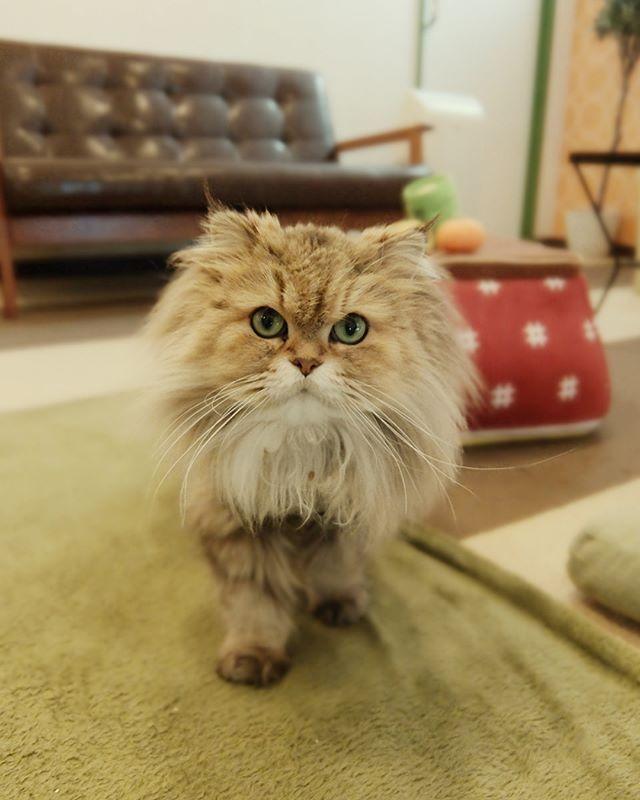 たてがみもなか #ねこカフェなる #猫カフェなる #長野県長野市 #猫カフェ #naganojapan #catcafe #nekocafenaru #nekocafe #neko #catscafe #catstagram #cats_of_instagram #catstuff #cat #cats #ねこカフェ #ネコカフェ #もなか #チンチラゴールデン