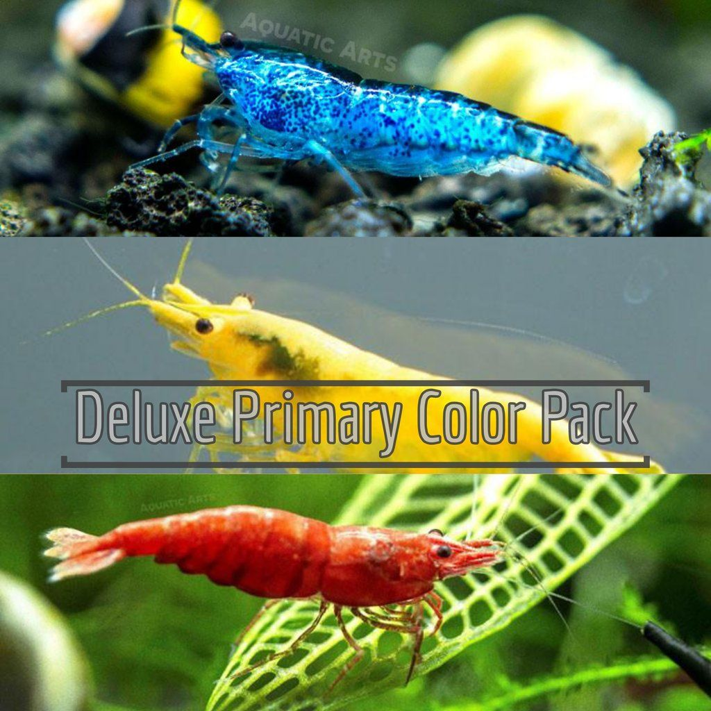 Deluxe Primary Colors Dwarf Shrimp Combo Pack Painted Fire Red Golden Back Yellow And Dream Blue Tank Bred In 2020 Red Cherry Shrimp Aquarium Set Red Fire