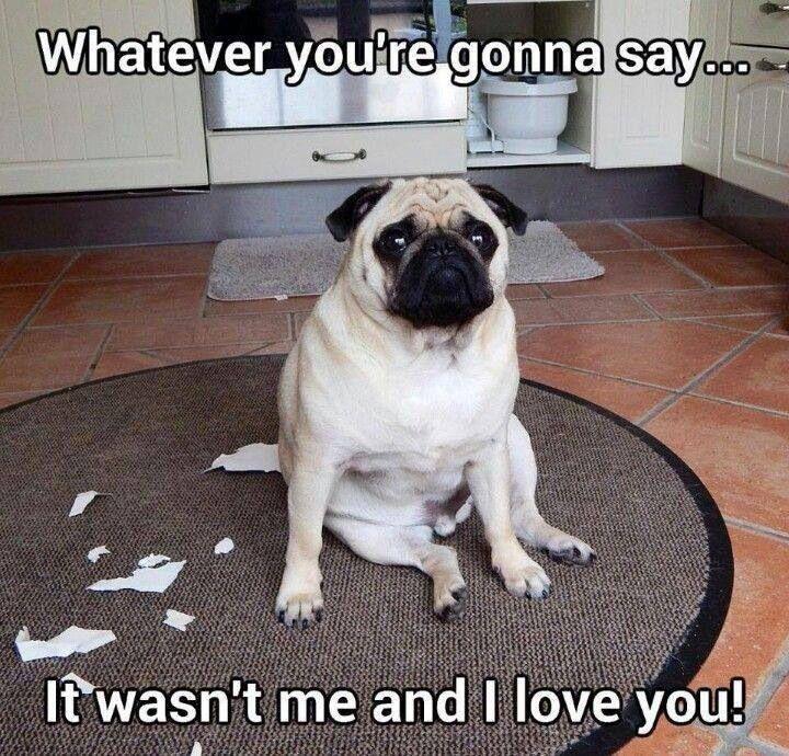 Oops Cute Pugs Pugs Funny Pug Dog
