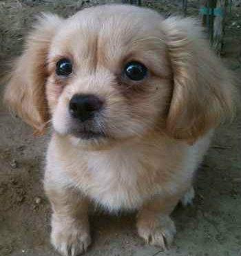 Pekehund Dachshund And Pekingese Mix Pekingese Mix Dog Breeds