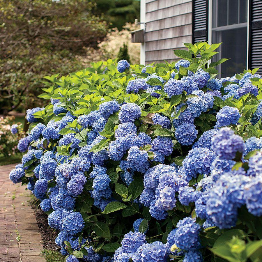 Hydrangea Endless Summer Endless Summer Hydrangea Hydrangea Care Hydrangea Macrophylla