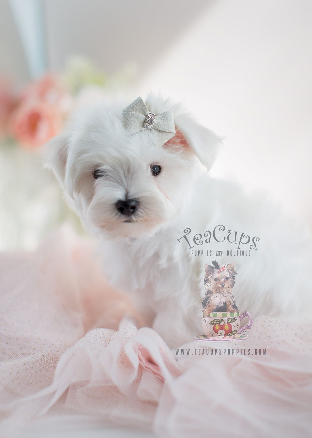 The Cutest Little Shih Tzu Puppies For Sale Teacups Puppies Boutique Teacup Puppies Teacup Puppies For Sale Puppies For Sale