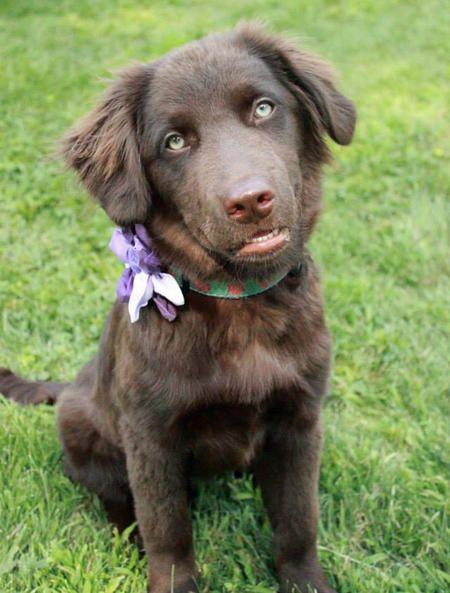 Lilly The Labrador Mix Labrador Mix Bear Puppy Mixed Breed Dogs