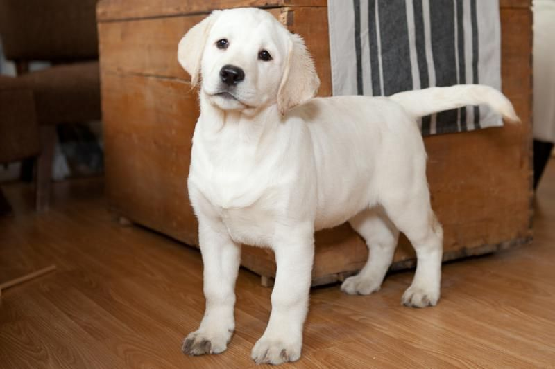 White Velvet Labradors Puppies Available English Labrador Puppies Lab Puppies White Labrador
