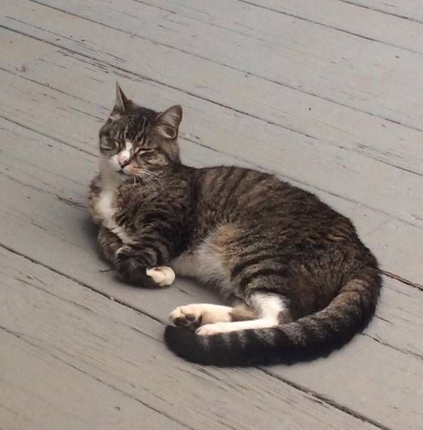 Lost Cat Domestic Short Hair In South Windsor Ct Lostmykitty Com Lost Cat Cats Pet Owners