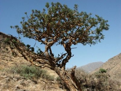 Frankincense - Boswellia thurifera