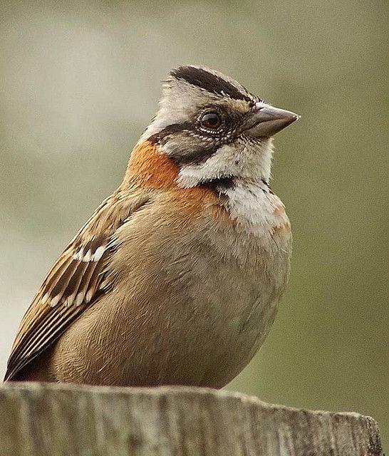 Rufous-collared Sparrow / Chingolo (Zonotrichia capensis)