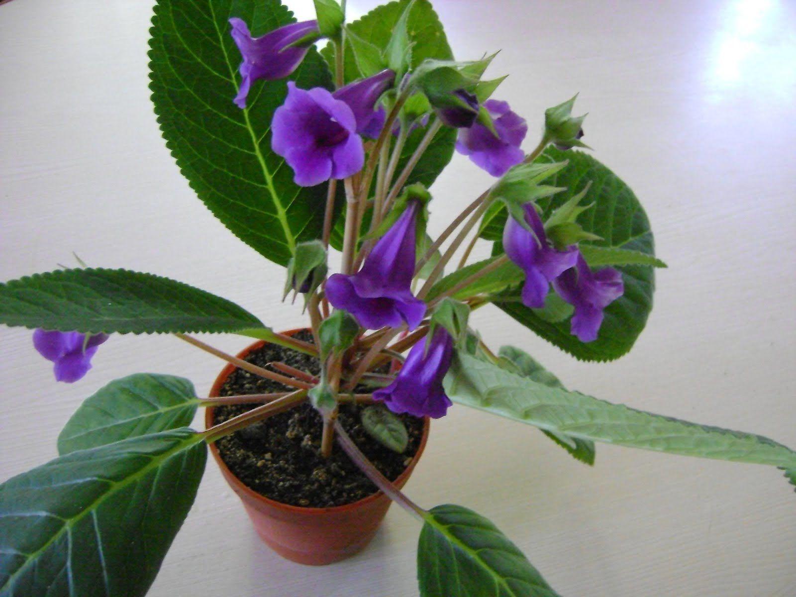 ASinningia speciosa var. speciosa é uma espécie herbácea nativa do Brasil, de clima tropical, mas que ainda é muito pouco difundida no...