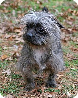 Towson Md French Bulldog Cairn Terrier Mix Meet Toykeo A Dog