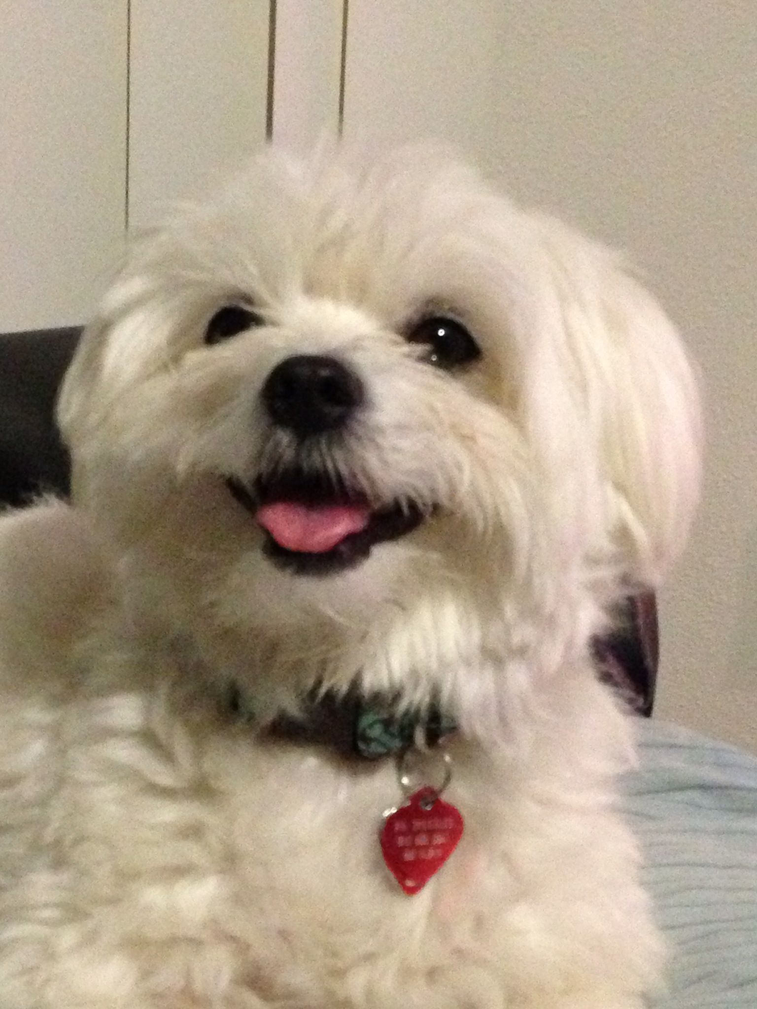 Happy Maltese Maltese Maltese Dogs Maltese Cute Cats Dogs