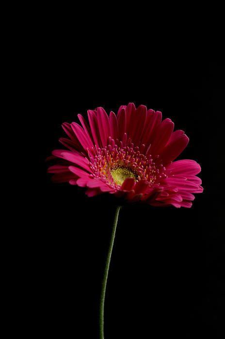 Gerbera Daisy By Steve Purnell Gerbera Daisy Rose Color Meanings Gerbera