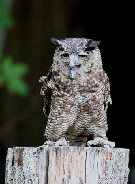 Owl, East Yorkshire