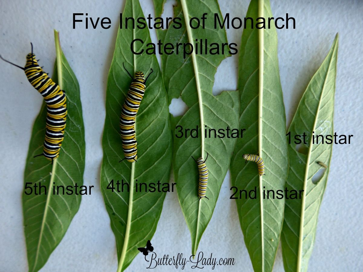 Monarch Caterpillars Will Molt  Shed Skin  Five Times