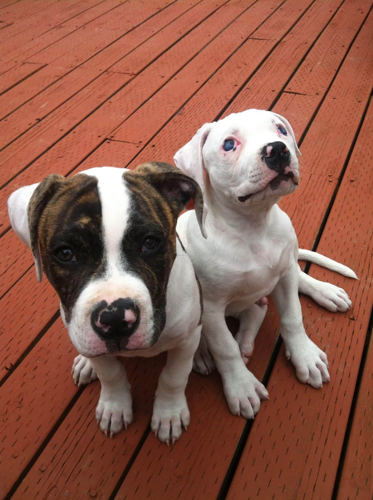 My Johnson American Bulldog puppies; Fenrir and Ivar