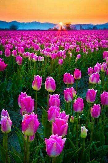 ป กพ นโดย Joe Young ใน Field ท วล ป ดอกไม ส ม วง สวนญ ป น