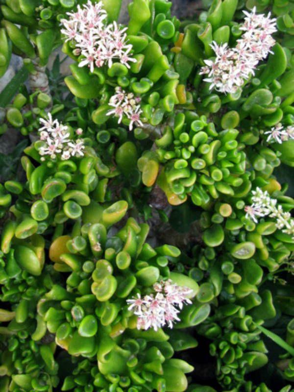 crassula ovata 39 hobbit 39 hobbit jade jade plants pinterest succulents plants and jade plants. Black Bedroom Furniture Sets. Home Design Ideas